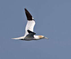 Gannet photographed at Fort Doyle [DOY] on 16/6/2014. Photo: © Mike Cunningham
