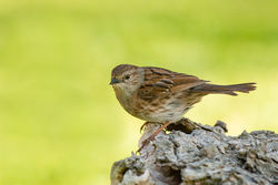 Dunnock photographed at Bas Capelles [BAS] on 17/6/2014. Photo: © Rod Ferbrache