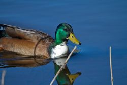 Mallard photographed at Rue des Bergers on 14/6/2014. Photo: © Dan Scott