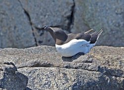 Razorbill photographed at Herm [HER] on 19/6/2014. Photo: © Mike Cunningham