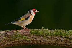 Goldfinch photographed at Bas Capelles [BAS] on 21/6/2014. Photo: © Rod Ferbrache