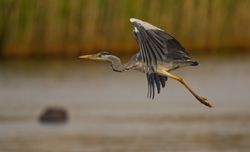 Grey Heron photographed at Claire Mare [CLA] on 21/6/2014. Photo: © Dan Scott