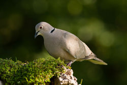 Collared Dove photographed at Bas Capelles [BAS] on 21/6/2014. Photo: © Rod Ferbrache