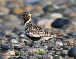 Golden Plover photographed at Shingle Bank [SHI] on 24/6/2014. Photo: ©  Rockdweller
