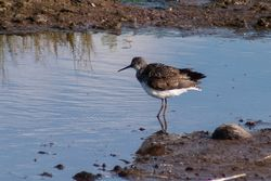 Green Sandpiper photographed at Claire Mare [CLA] on 29/6/2014. Photo: © Jason Friend