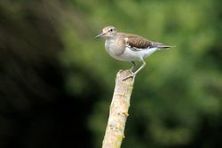 Common Sandpiper photographed at Rue des Bergers [BER] on 30/6/2014. Photo: © Jason Friend