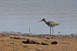 Redshank photographed at Claire Mare [CLA] on 1/7/2014. Photo: © Jason Friend