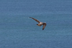 Peregrine photographed at Corbiere [COR] on 9/7/2014. Photo: © Jason Friend