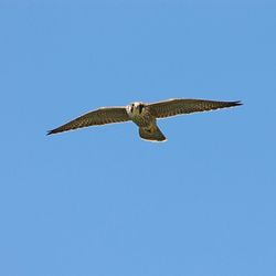 Peregrine photographed at Corbiere [COR] on 14/7/2014. Photo: © Jason Friend