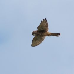 Kestrel photographed at Scramble Track [SCR] on 14/7/2014. Photo: © Jason Friend