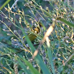 Greenfinch photographed at Claire Mare [CLA] on 15/7/2014. Photo: © Jason Friend