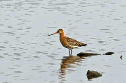 Bar-tailed Godwit photographed at Vale Pond [VAL] on 18/7/2014. Photo: © Anthony Loaring