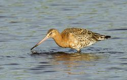 Black-tailed Godwit photographed at Claire Mare [CLA] on 19/7/2014. Photo: © Anthony Loaring
