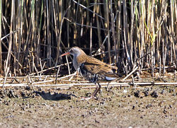 Water Rail photographed at Claire Mare [CLA] on 28/7/2014. Photo: © Mike Cunningham
