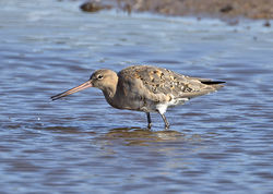Black-tailed Godwit photographed at Claire Mare [CLA] on 28/7/2014. Photo: © Mike Cunningham