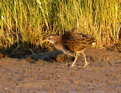 Water Rail photographed at Claire Mare on 28/7/2014. Photo: © Mike Cunningham
