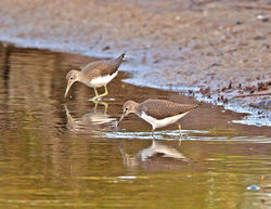 Green Sandpiper photographed at Claire Mare on 30/7/2014. Photo: © Mike Cunningham