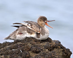 Red-breasted Merganser photographed at Havelet [HAV] on 5/8/2014. Photo: © Mike Cunningham