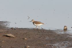 Common Sandpiper photographed at Claire Mare [CLA] on 7/8/2014. Photo: © Jason Friend