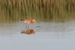 Black-tailed Godwit photographed at Claire Mare [CLA] on 7/8/2014. Photo: © Jason Friend