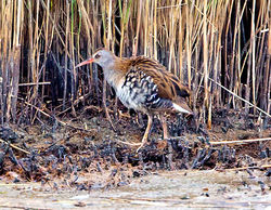 Water Rail photographed at Claire Mare [CLA] on 8/8/2014. Photo: © Mike Cunningham