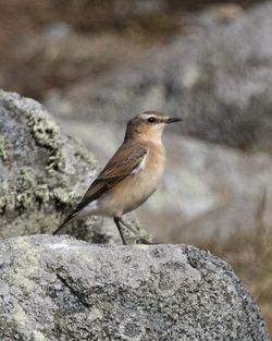 Wheatear. Photo: © Cindy  Carre
