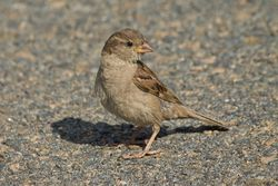 House Sparrow photographed at Castle Cornet [CAS] on 13/8/2014. Photo: © Jason Friend