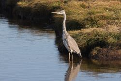 Grey Heron photographed at Claire Mare [CLA] on 13/8/2014. Photo: © Jason Friend