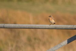 Wheatear photographed at Pleinmont [PLE] on 21/8/2014. Photo: © Jason Friend