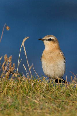 Wheatear photographed at Fort Le Marchant [MAR] on 20/8/2014. Photo: © Rod Ferbrache