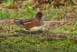 Wigeon photographed at Rue des Bergers [BER] on 23/8/2014. Photo: © Rod Ferbrache