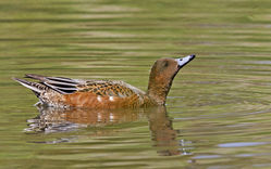Wigeon photographed at Rue des Bergers [BER] on 23/8/2014. Photo: © Anthony Loaring