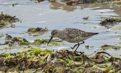 Curlew Sandpiper photographed at Vazon [VAZ] on 27/8/2014. Photo: © Anthony Loaring