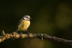 Blue Tit photographed at Bas Capelles [BAS] on 28/8/2014. Photo: © Rod Ferbrache
