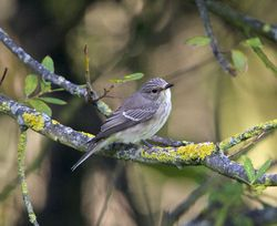 Spotted Flycatcher photographed at Rue des Bergers [BER] on 28/8/2014. Photo: © Royston Carr�