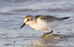 Sanderling photographed at Vazon [VAZ] on 28/8/2014. Photo: © Anthony Loaring