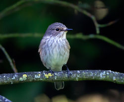 Spotted Flycatcher photographed at Rue des Bergers [BER] on 28/8/2014. Photo: © Mike Cunningham