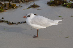 Mediterranean Gull photographed at Cobo [COB] on 29/8/2014. Photo: © Rod Ferbrache