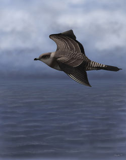 Long-tailed Skua photographed at Jaonneuse [JAO] on 14/9/2013. Photo: © Mark Lawlor
