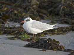 Mediterranean Gull photographed at Cobo [COB] on 29/8/2014. Photo: © Royston Carr�