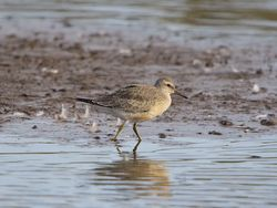 Knot photographed at Claire Mare [CLA] on 2/9/2014. Photo: © Royston Carr�