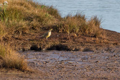 Yellow Wagtail photographed at Claire Mare [CLA] on 2/9/2014. Photo: © Jason Friend