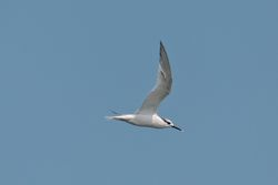 Sandwich Tern photographed at Fort Doyle [DOY] on 3/9/2014. Photo: © Jason Friend