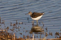 Green Sandpiper photographed at Claire Mare [CLA] on 4/9/2014. Photo: © Jason Friend