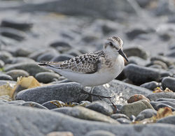 Sanderling photographed at Fort Doyle [DOY] on 1/9/2014. Photo: © Mike Cunningham