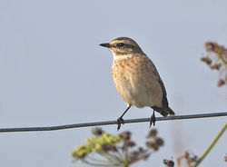 Whinchat photographed at Fort Hommet [HOM] on 4/9/2014. Photo: © Mike Cunningham