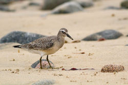 Knot photographed at Pecqueries [PEC] on 6/9/2014. Photo: © Rod Ferbrache