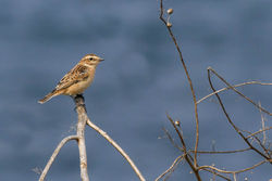 Whinchat photographed at Fort Hommet [HOM] on 6/9/2014. Photo: © Rod Ferbrache