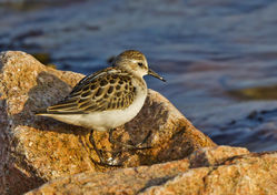 Little Stint photographed at Fort Hommet [HOM] on 8/9/2014. Photo: © Anthony Loaring