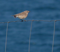 Whinchat photographed at Fort Hommet [HOM] on 4/9/2014. Photo: © Mark Lawlor